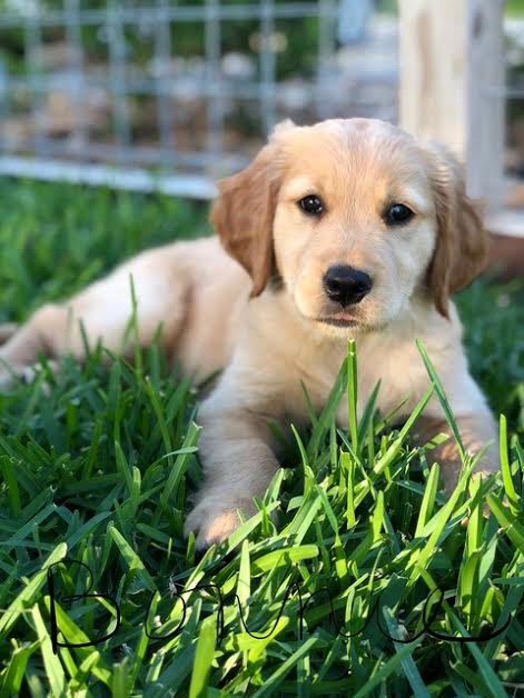 Performance Bred Golden Retrievers | New Braunfels, Texas
